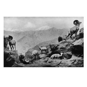 View of Desert Mountain Sheep and Rams Premium Poster