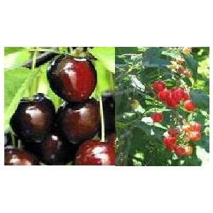 Mixed Cherry Tree Seeds Patio, Lawn & Garden